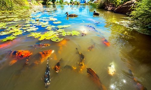 Koi,In,The,Shoyoen,Garden,In,Dubbo,Australia
